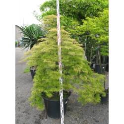 Acer palmatum ´Viridis´ 175/200 pyramid.