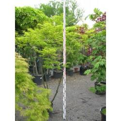 Acer palmatum ´Nishiki gawa´ C 30