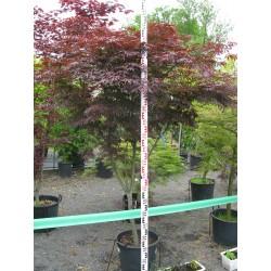 Acer palmatum ´Burgundy Lace´ C 30