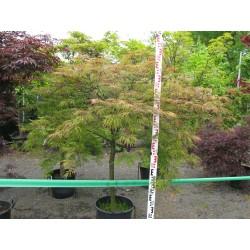 Acer palmatum ´Rubrum´ M 40