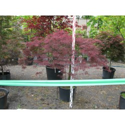 Acer palmatum ´Garnet´  M 40