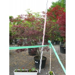 Acer palmatum ´Sherwood Flame´ 150/175 c