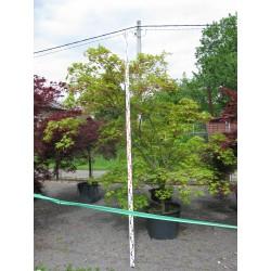 Acer palmatum ´Kitoseyama´
