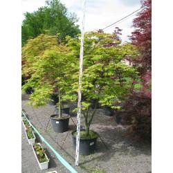 Acer palmatum ´Omure yama´ 125/150