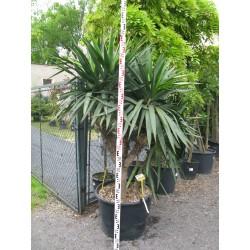 Yucca gloriosa 125+
