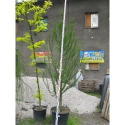 Taxodium distichum Nutans 250/300 cm