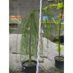 Taxodium distichum Cascade Falls 14/16