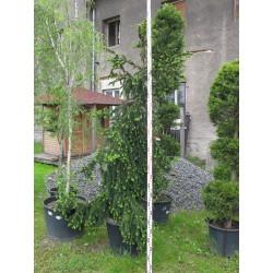 Picea abies  Inversa( Pendula) 200/250