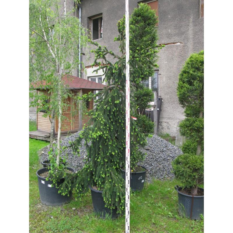 Picea Abies Inversa Pendula 200250 Eshophrochgroupcz