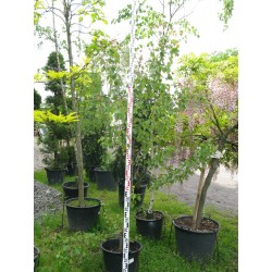 Acer rubrum Summer Red
