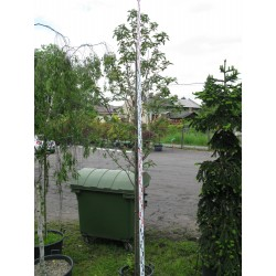 Sorbus thuringiaca ˇFastigiata C25