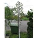 Sorbus thuringiaca Fastigiata
