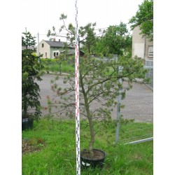 Pinus virginiana Wates Golden 150-175