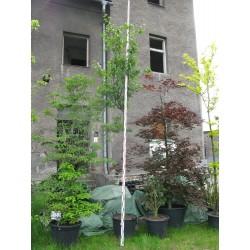 Prunus serrulata Kanzan 16/18 C55
