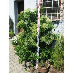 Hydrangea petiolaris 125-150 cm