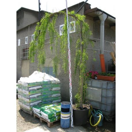 Taxodium distichum Pendens 350/400 cm