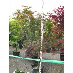 Acer palmatum ´Tatsuta´ M 45