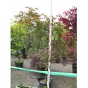 Acer palmatum Tatsuta M 45