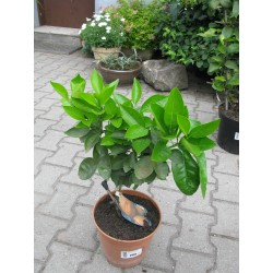 Citrus aurantium Amara 30/40
