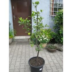 Citrus limonia 120cm