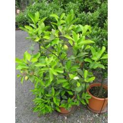 Citrus limon 80/100 cm