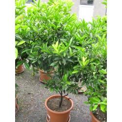 Citrus mandarin C40
