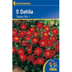 Dahlia Topmix Rot ks