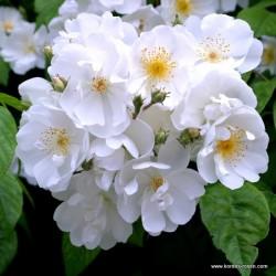 Růže BOBBIE JAMES pnoucí 2L