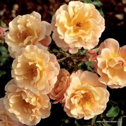 Růže CUBANA polyantka 2L