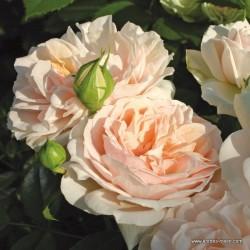 Růže GARDEN OF ROSES polyantka 2L ADR