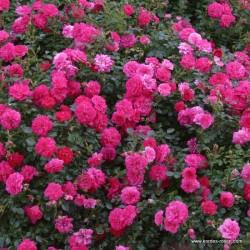 Růže KNIRPS pokryvná 2L ADR