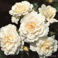 Růže PETTICOAT polyantka 2L