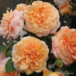 Růže SANGERHAUSER JUBILAUMS polyantka 2L