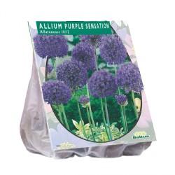 Allium aflatunense Purple Sensation ks