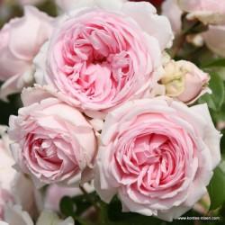 Růže WELLENSPIEL 2L sadová