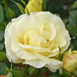 Růže LIMONA velkokvětá 2L ADR