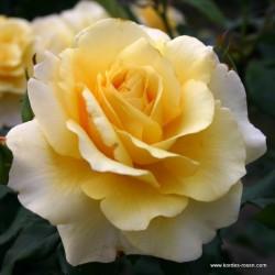 Růže SUNNY SKY velkokvětá 2L ADR