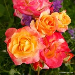 Růže FIREBIRD 2L polyantka