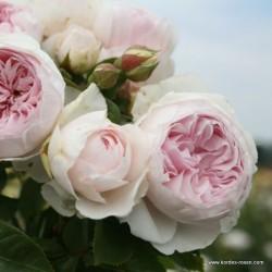 Růže HERZOGIN CHRISTIANA parfuma 2L ADR
