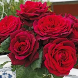 Růže GRAFIN DIANA parfum 2L