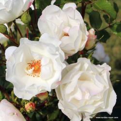 Růže WEISSE WOLKE 2L sadová
