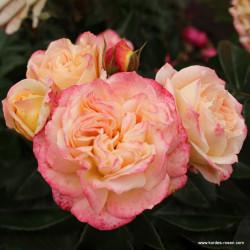Růže CONCORDE 2L velkokvětá