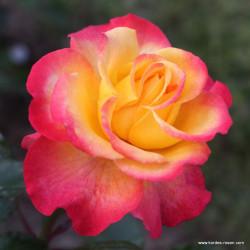 Růže FLAMING STAR velkokvětá 2L ADR