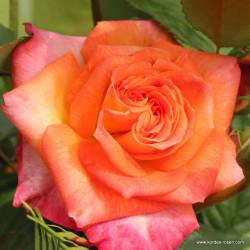 Růže FEURIO velkokvětá 2L ADR