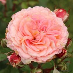 Růže AMARETTO polyantka 2L ADR