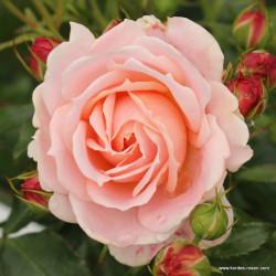 Růže CREMOSA polyantka 2L ADR