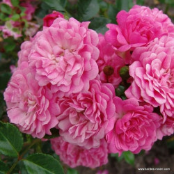 Růže PEPITA  zakrslá 2L ADR