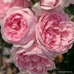 Růže CINDERELLA sadová 2L
