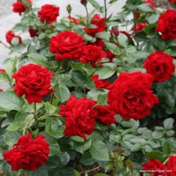 Růže JUGENDLIEBE polyantka 2L