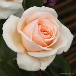 Růže COURAGE velkokvětá 2l